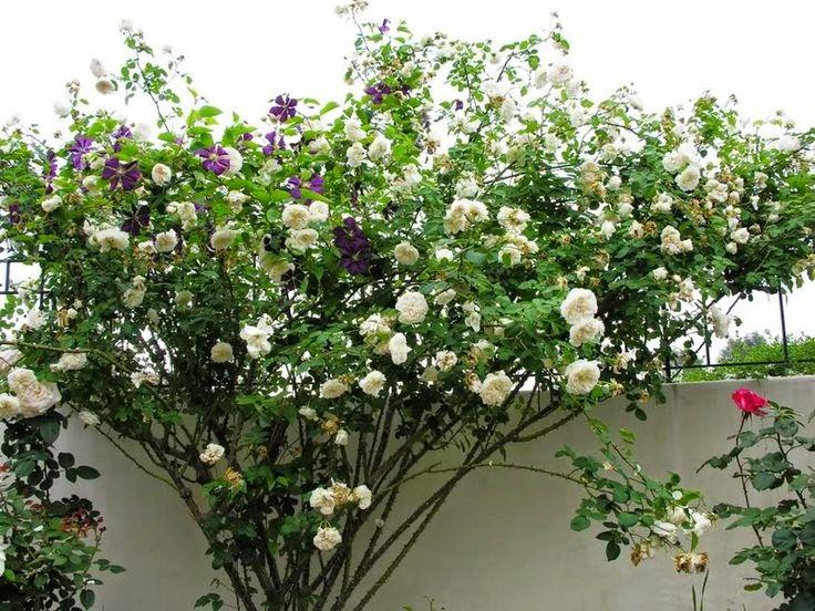 17 best images about rosas on pinterest tes bourbon and for Empresas de jardineria