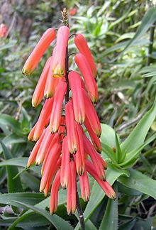 Aloe ciliaris They can be differentiated from other climbing aloes by the way that the soft, white, hair-like teeth (=ciliaris) that grow along the margins of the leaves, extend all the way around the stem, at the base of the leaf.  The fleshy leaves themselves are strongly recurved (helping to anchor the tall stems in dense thickets and assist the aloe in climbing). The leaf sheaths are conspicuously striped green and white.