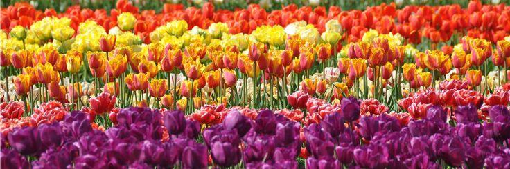 Les champs de tulipes à Plomeur | Finistère | Bretagne | #myfinistere #latorche