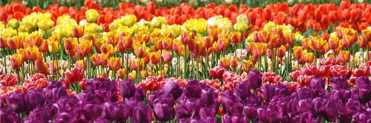 Les champs de tulipes à Plomeur   Finistère   Bretagne   #myfinistere #latorche