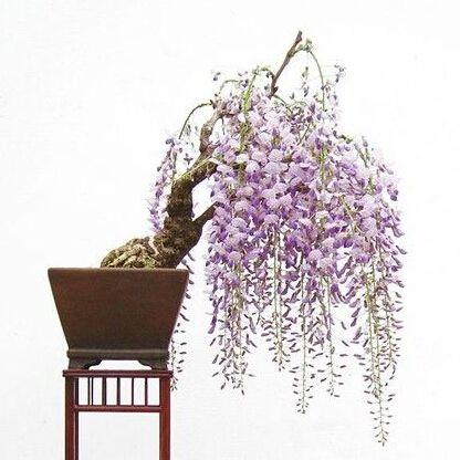 lilac mini bonsai wisteria tree seeds Indoor ornamental plants 10 pcs-in Bonsai from Home & Garden on Aliexpress.com | Alibaba Group