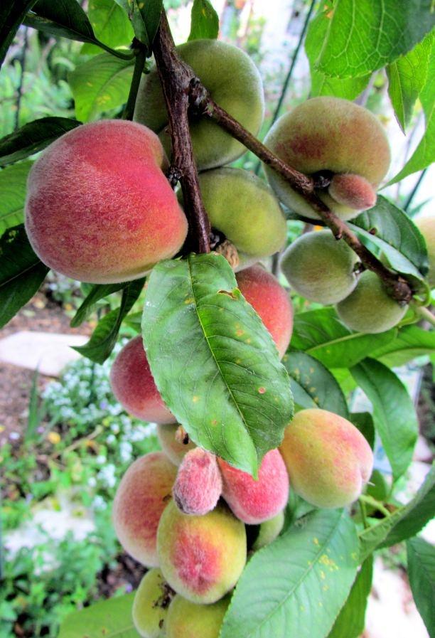 Florida Prince Peaches Fruits On Trees Pinterest