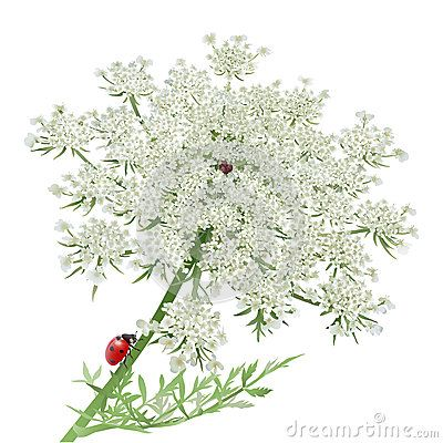 Ladybug on Queen Anne s Lace