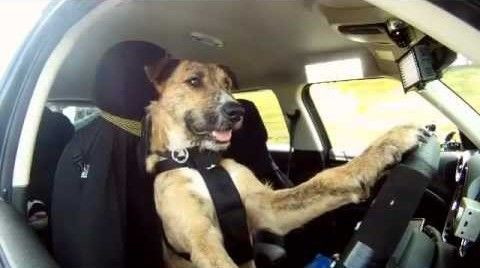 Dog Driving Mini Cooper Car -You drive cars , I drive cars... But Dogs ? Not a chance Right ! Well...You are wrong . Watch this video of this Amazing Dog