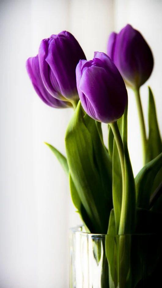 Кто живой, открытки фиолетовые тюльпаны