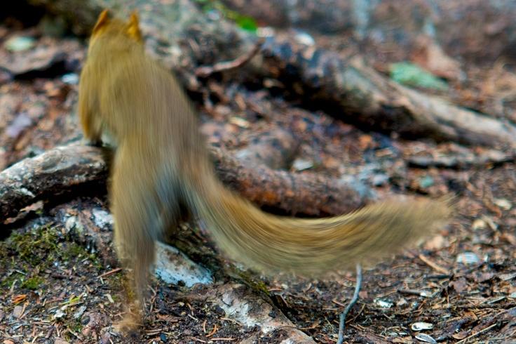 Rocky the Columbian Squirrel. Jasper National Park. Jasper-Alberta