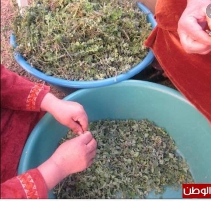فرط اوراق الزعتر How To Dry Basil Herbs Basil