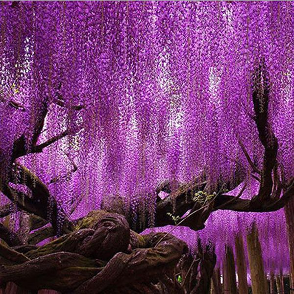10pcs Purple Wisteria Flower Seeds Wisteria Sinensis For Diy Home Garden Plant With Images Wisteria Tree Purple Wisteria Wisteria Plant