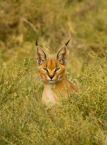 C is for the Cute Caracal Cat - with Crazy black tipped ears! It's best known for its spectacular skill at hunting birds, able to snatch a bird in flight, sometimes more than one at a time.