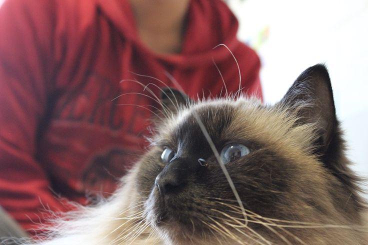Yo #ragdoll #cat #kitten #stare #blank