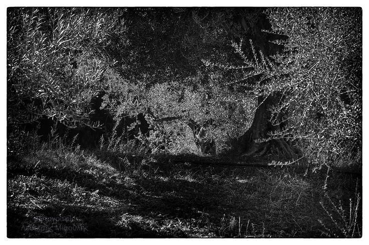 olive trees Ελιές