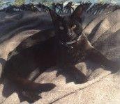 MISSING  – Willis the black CAT – Mawson ACT 2607