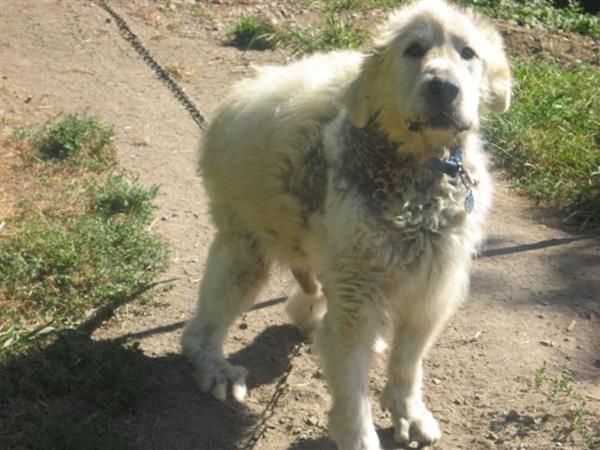 PLEASE CALL or email!!!!! this poor guy really really needs our help!!!! ASAP!!!!! Palouse remains chained to a vacant house 24/7, 365 days a year, as he has been for at least two years. Temperatures are dropping and we fear he won't make it through the winter. PLEASE HELP!!!!!!