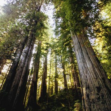 Redwoods, California drawntoecology.com