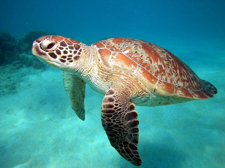 Turtle. Malaysia