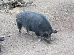 wild boar canada    Wild boars, feral pigs: double dose of destruction -