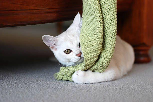 http://media.istockphoto.com/photos/cats-gorgeous-pure-bred-burmilla-kitten-with-green-blanket-picture-id182788113?k=6&m=182788113&s=612x612&w=0&h=nZiNlqwSAei5RAKR7wZTEKLJ1KajTNaPCIsdanZZouM=