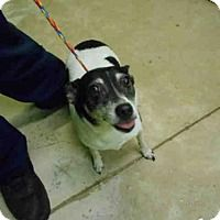 **BONKERS** - ACT QUICKLY!  GREEN COVE SPRINGS, FL. Rat Terrier Dog for adoption in Green Cove Springs, Florida - BONKERS -ID#1010937180 - A0188382  CLAY COUNTY ANIMAL CONTROL