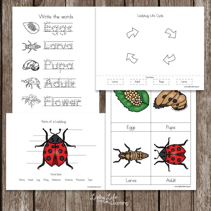 Ladybug Life Cycle Worksheets For Kids Ladybug Life Cycle Life Cycles Ladybug