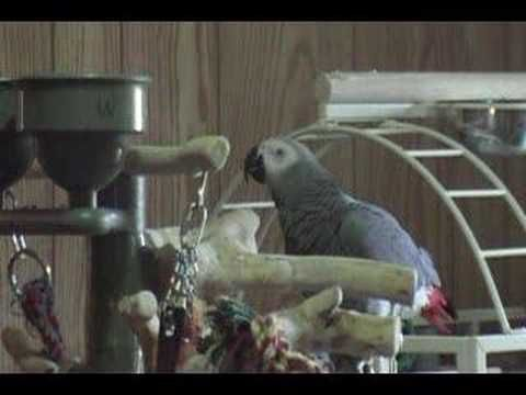 African Grey parrot sings Cops song and quotes John 3:16