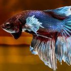 Betta Fish For Sale Online