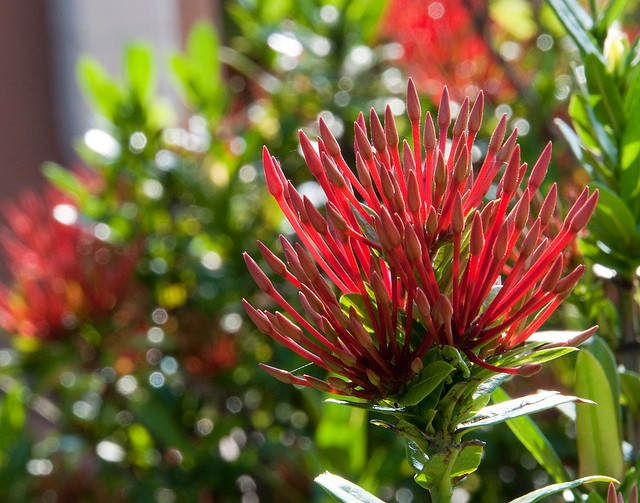 52 best images about ixora flowers on pinterest