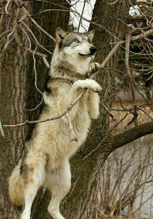 Can Wolf Dogs Climb Tree
