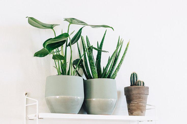 Monstera, aloe vera och kaktus är snyggt tillsammans