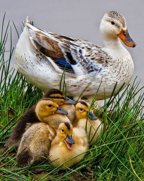 Mother Love - Family of Ducks #country #water fowl