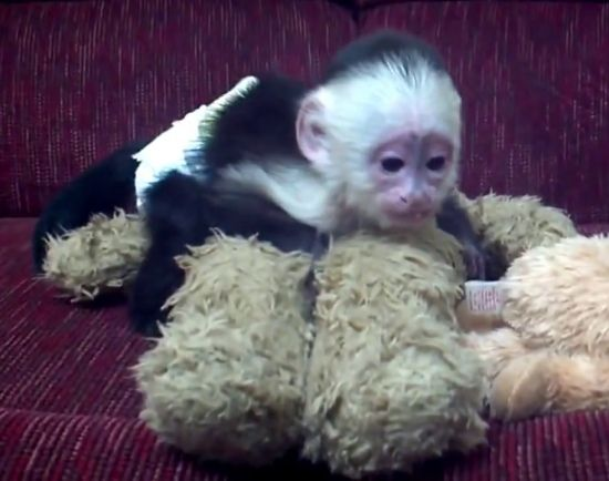 White faced capuchin monkeys | Babies | Capuchin monkey for