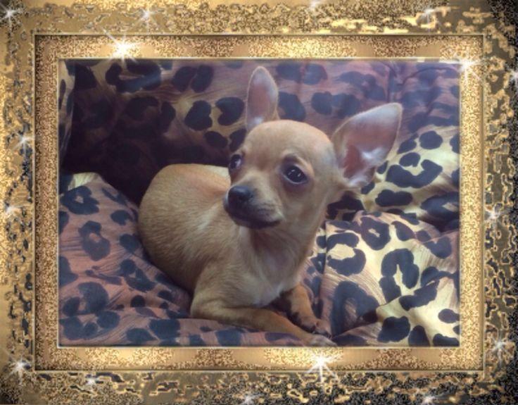 Chihuahua fulvo maschio