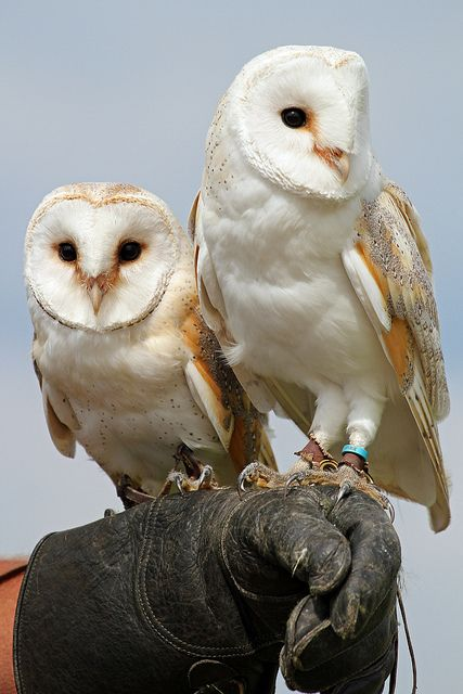 cloudyowl:  Barn Owls by Buggers1962