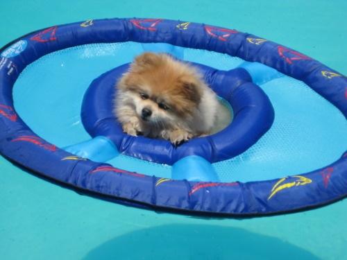 Cute little dog floating in water