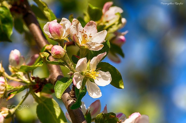 Flowers of apple tree - null