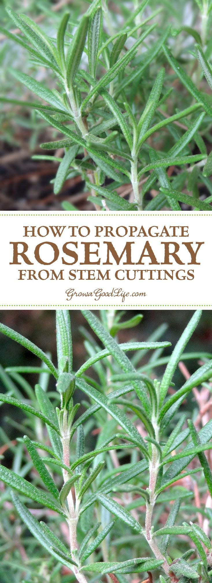 how to propagate a rosemary plant from stem cuttings