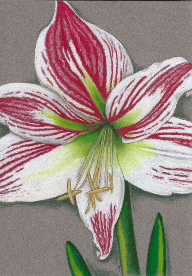 """""""Amarylis"""". Pastel on Art Paper. Available as an original, prints or greeting cards."""