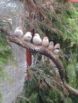 Male Zebra finches for sale £4 each bargin !!! - 1