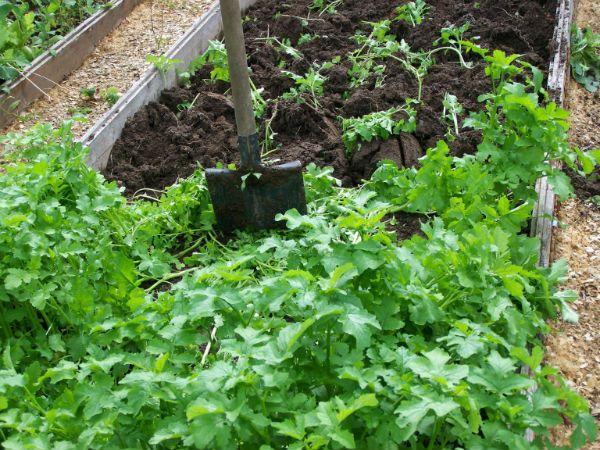 Садовое обозрение - Сидераты: лечат, улучшают и обогащают. Часть 2