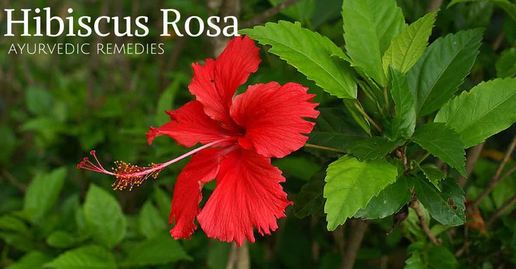 Hibiscus(Gudhal) leaves and flower is used in treatment of many diseases like leucorrhea, Anemia, mouth ulcers and general weakness.