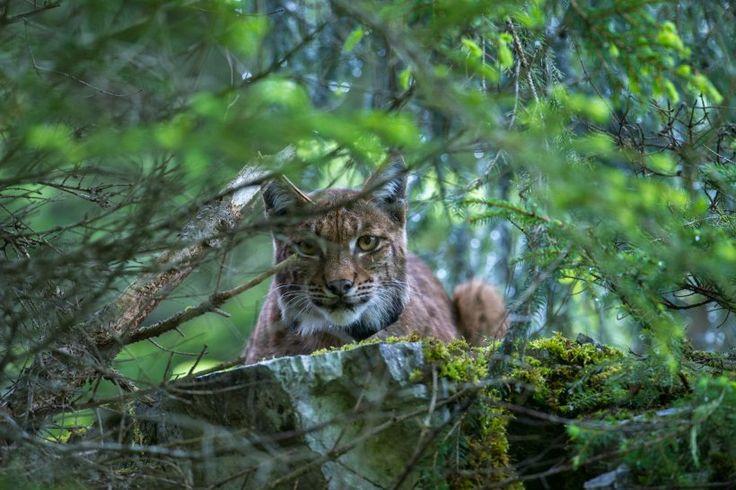 Lynx - Jura