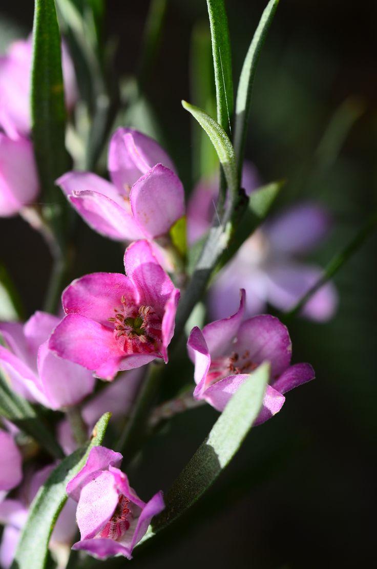 Australian Native Rose