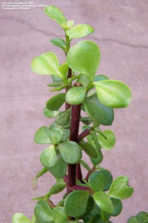 Según cuenta la tradición de la Portulacaria Afra, el árbol de la abundancia es una planta que da fo