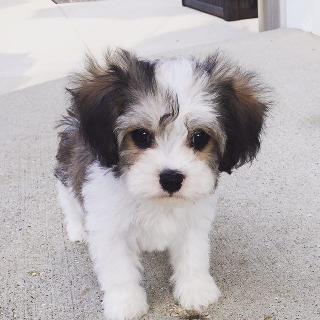 www.cavachonsbydesign.com Cavachon puppies for sale, Cavachon, Cavachons, Cavachon dog, Cavachon pups, Cavachon pup, Cavachons dogs for sale, Cavachon puppies, Cavachons for sale, Cavachon breeder, Cavachon breeders, Bichon,
