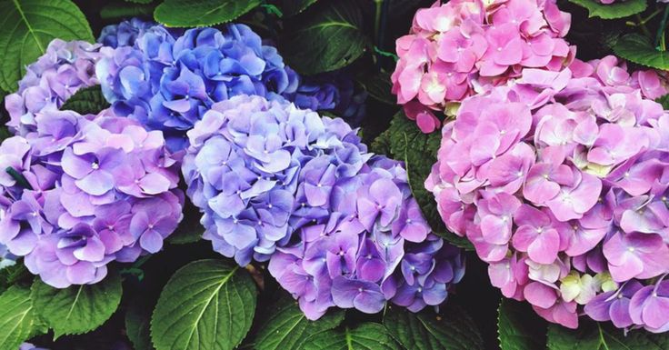 L'hortensia est une des plantes les plus faciles à bouturer, ç-à-d. a multiplier à partir d'un fragment. Comme …