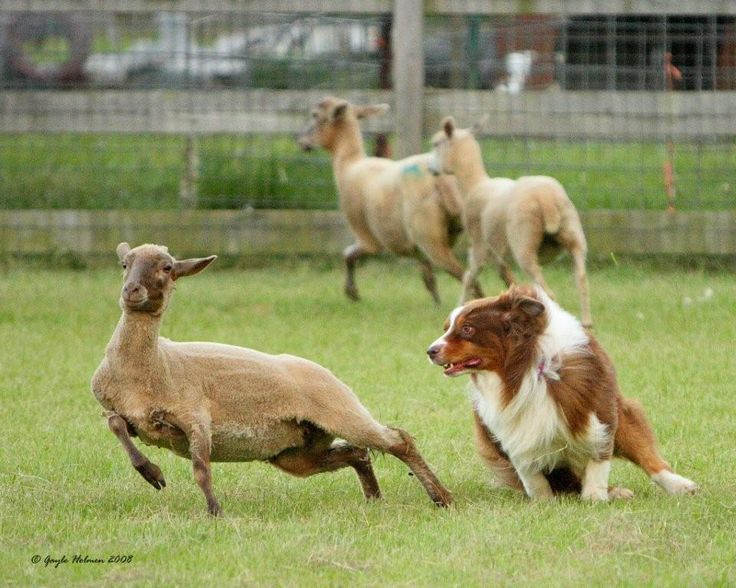Australian shepherds know how to herd livestock. And a good herding animal is worth its weight in gold. Must have.