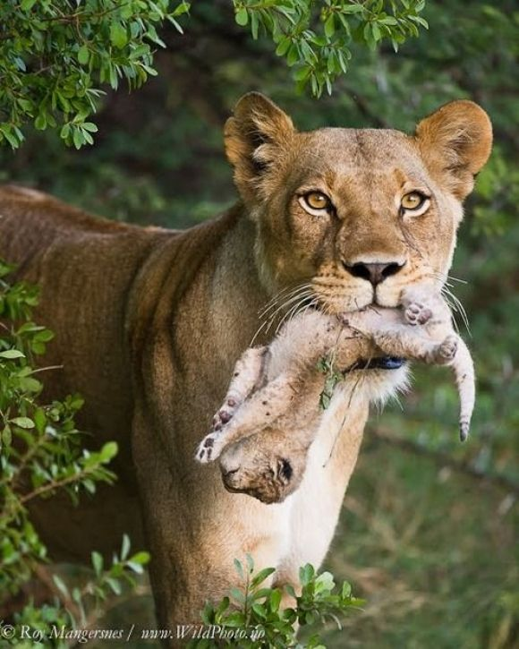 Pin by Angie Shadrick on Wild Cats Big and Small ...