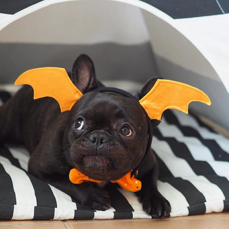 """Nana, nana, nana, nana, Bat Pig!"", French Bulldog Puppy in a Costume."