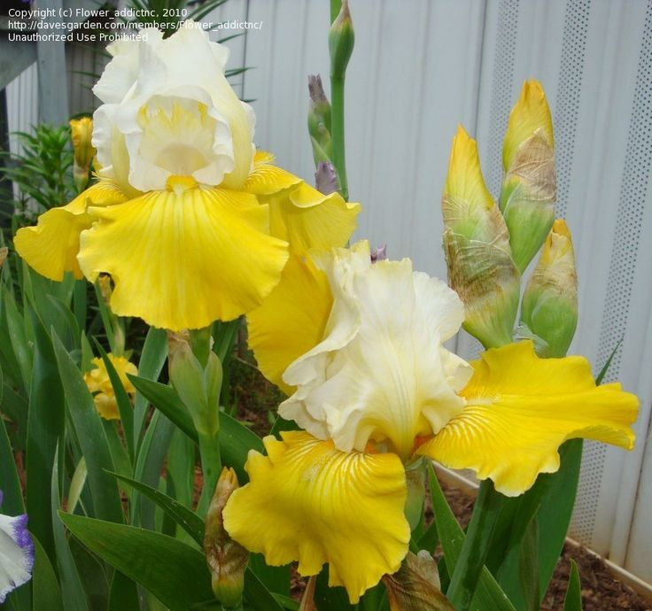 Tall Bearded Iris Flowers | PlantFiles: Picture #5 of Tall Bearded Iris 'Neutron Dance' (Iris)