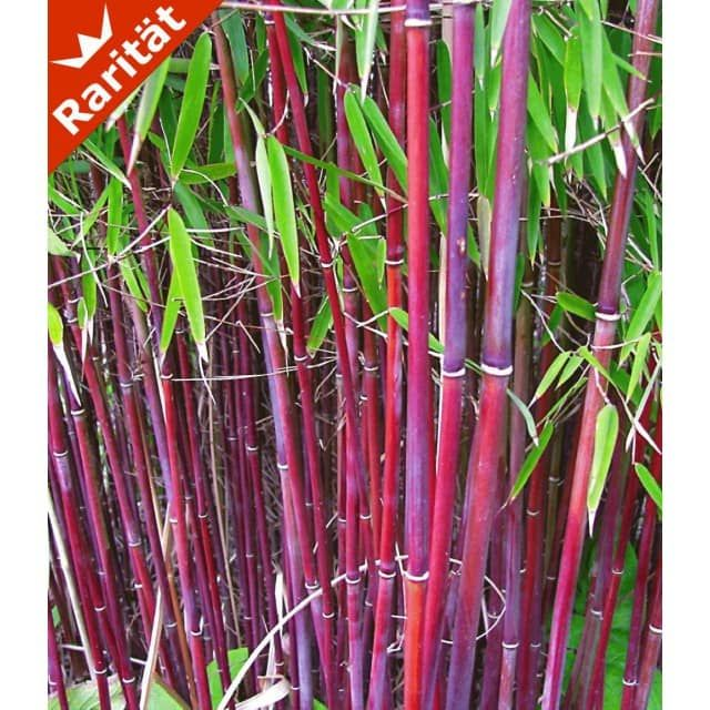 Roter Bambus 'Chinese Wonder', 1 Pflanze - BALDUR-Garten CH