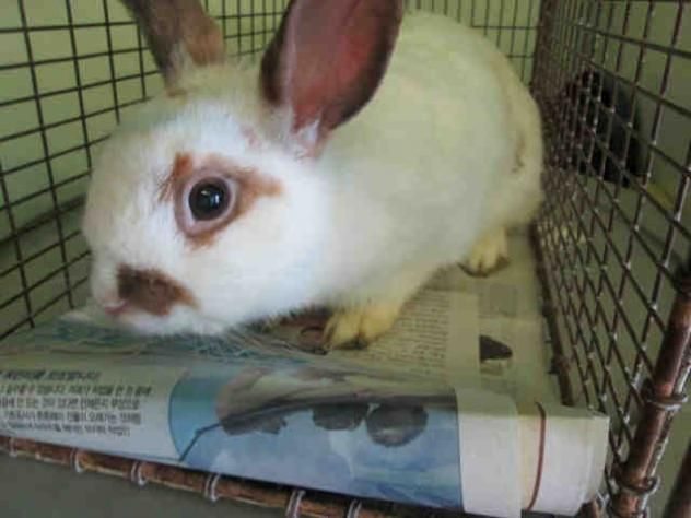 RAMONA - URGENT - located at CITY OF LOS ANGELES SOUTH LA ANIMAL SHELTER in Los Angeles, CA - Young Spayed Female American Rabbit